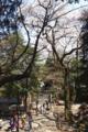 わかりにくいけどとても大きな桜の木