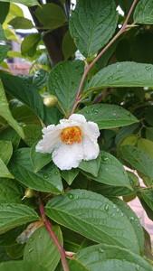 庭に咲いていたシャラの花