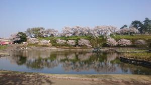 幸の池の桜
