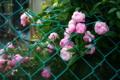 京都新聞写真コンテスト 「フェンスに咲く冬の花」