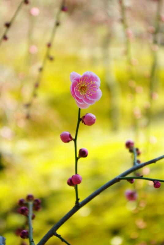 京都新聞写真コンテスト 「朝の梅香」