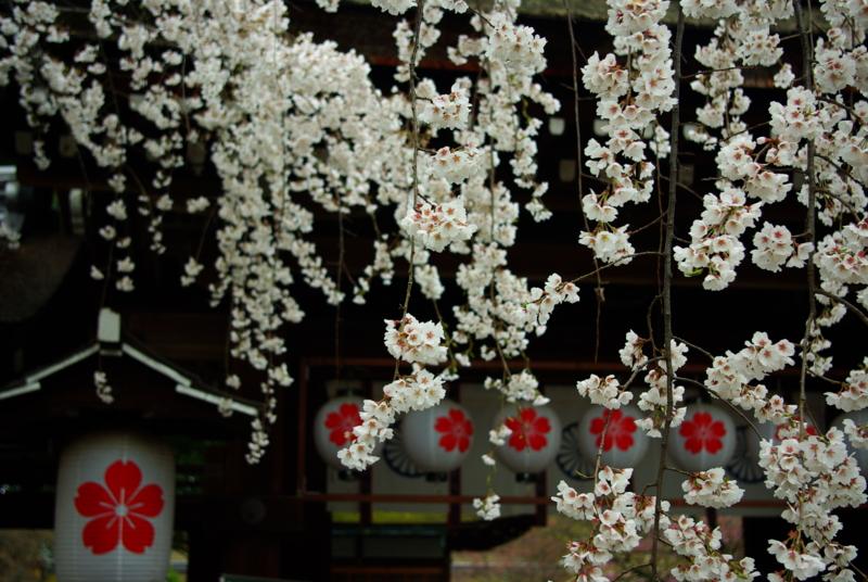 京都新聞写真コンテスト「さくら・さくら」