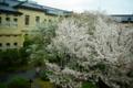 京都新聞写真コンテスト 「容保桜」