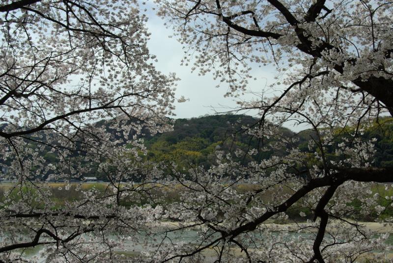 京都新聞写真コンテスト「桜の窓から」