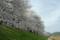 京都新聞写真コンテスト「八幡背割堤・桜の回廊」