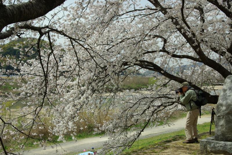 京都新聞写真コンテスト「桜の樹の下から」
