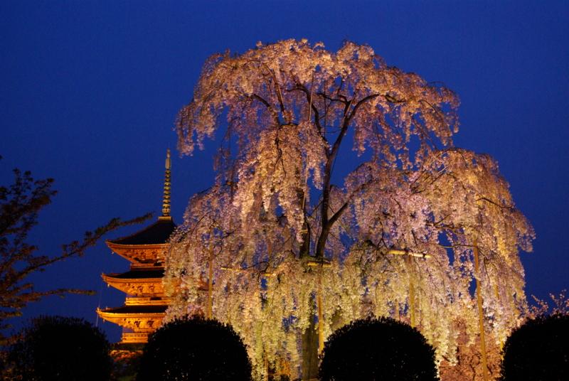 京都新聞写真コンテスト「宵の不二桜」