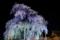 京都新聞写真コンテスト「春の夜」