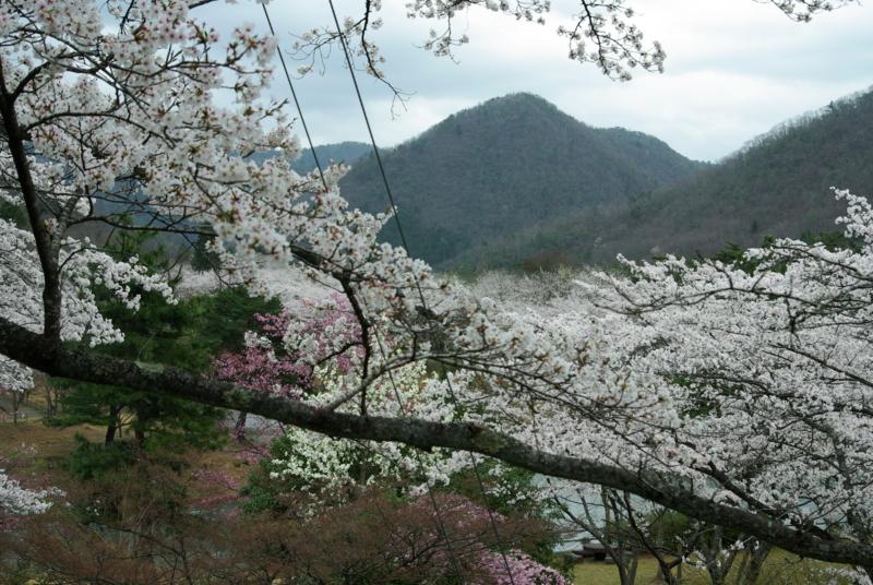京都新聞写真コンテスト「虹の湖の桜」