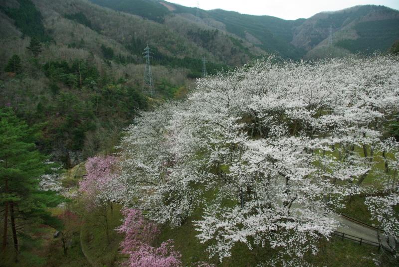 京都新聞写真コンテスト「山の桜」