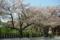 京都新聞写真コンテスト「葉桜」