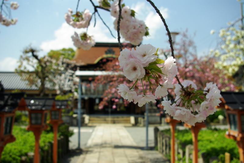 京都新聞写真コンテスト「陽春の六孫王神社」