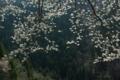 京都新聞写真コンテスト 「北山に咲く」