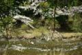 京都新聞写真コンテスト「桜流れる清流」