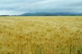 京都新聞写真コンテスト  「風に吹かれて・麦の秋」