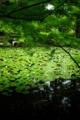 京都新聞写真コンテスト 「夏前の池泉」