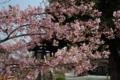 京都新聞写真コンテスト「河津桜に鐘楼」