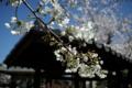 京都新聞写真コンテスト「宇賀神社の桜」