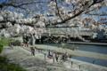 京都新聞写真コンテスト「チビっこお花見大集合」
