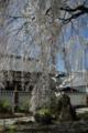 京都新聞写真コンテスト「本満寺・早咲き桜」
