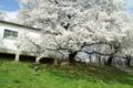 京都新聞写真コンテスト「大きな木の下で」