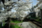 京都新聞写真コンテスト「最新鋭車・桜前線を走る」