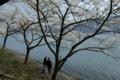 京都新聞写真コンテスト「連れ添ってサクラさんぽ 2」