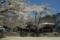京都新聞写真コンテスト「桜散る学舎の跡」