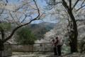 京都新聞写真コンテスト「連れ添ってサクラさんぽ 3」