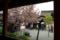 京都新聞写真コンテスト「春雨」