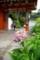 京都新聞写真コンテスト「朱の門くぐって・・」
