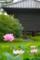 京都新聞写真コンテスト「宝蔵に蓮」