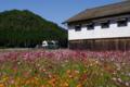 京都新聞写真コンテスト「コスモス日和 2」