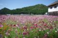 京都新聞写真コンテスト「コスモス日和」