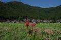 京都新聞写真コンテスト「畦道の彼岸花」