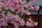 京都新聞写真コンテスト「御影堂の河津桜」