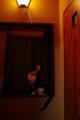 京都新聞写真コンテスト「窓辺のネコ」