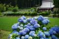 京都新聞写真コンテスト 「里山の紫陽花」