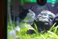 京都新聞写真コンテスト 「水槽のネコ」