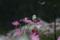 京都新聞写真コンテスト 「秋桜に揺られて」