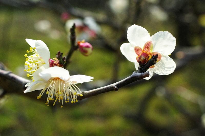 京都新聞写真コンテスト「白梅」