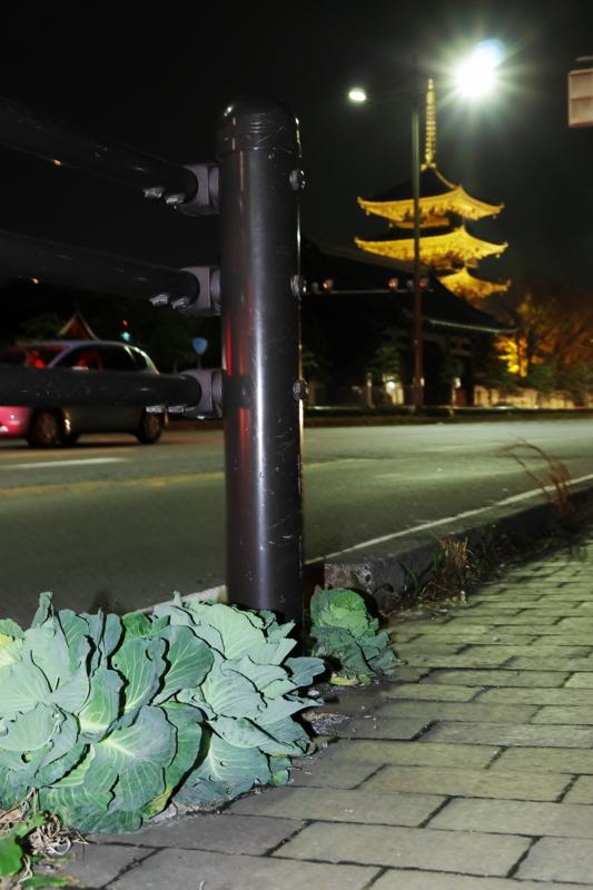 京都新聞写真コンテスト「ど根性キャベツ」