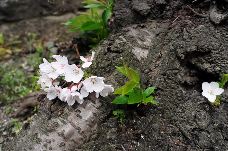京都新聞写真コンテスト「根っこに咲く」
