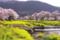 京都新聞写真コンテスト「黄色い絨毯」