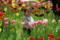 京都新聞写真コンテスト「チューリップ畑で見た天使」