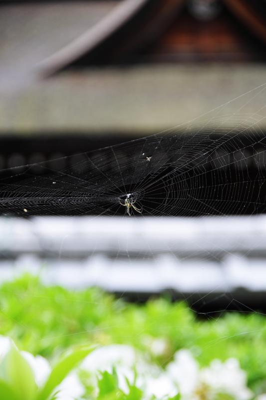 京都新聞写真コンテスト「平安の蜘蛛」