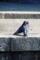 京都新聞写真コンテスト 「求愛」