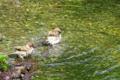 京都新聞写真コンテスト「スズメの行水」