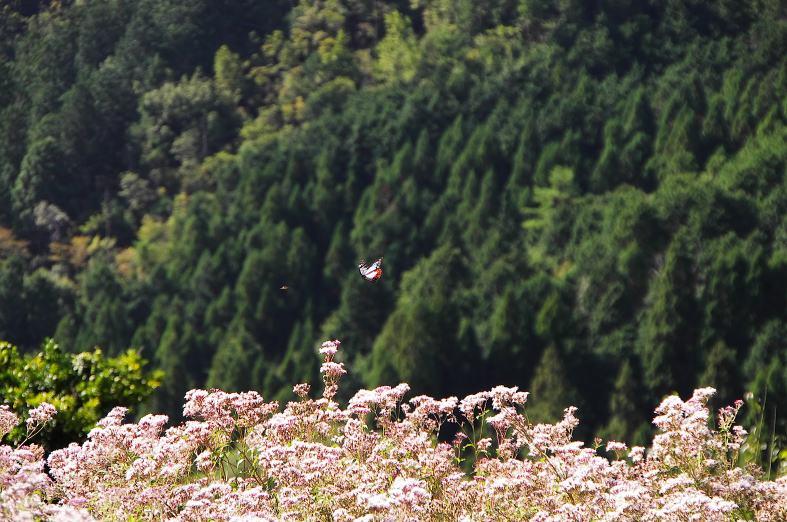 「小さな蝶の大きな旅路」
