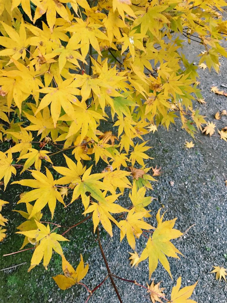 黄色に紅葉した木の写真